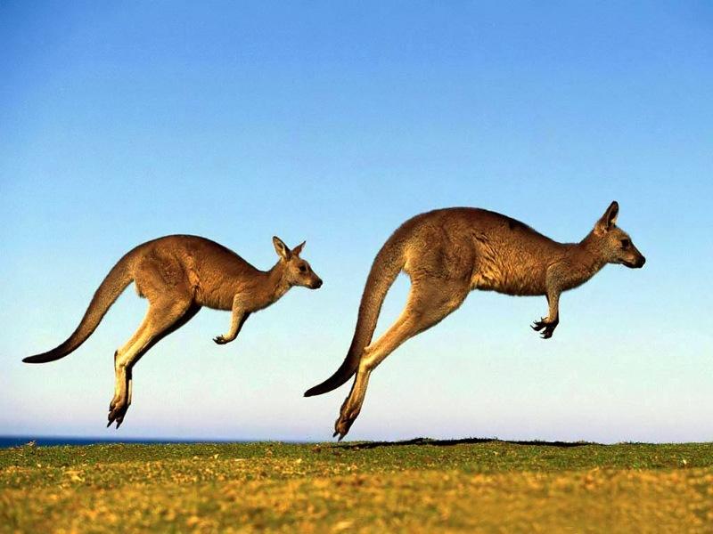 Biểu tượng của nước Úc là những chú chú chuột túi xinh đẹp